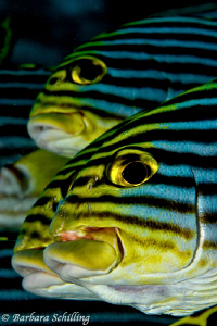Oriental Sweetlips posing by Barbara Schilling 